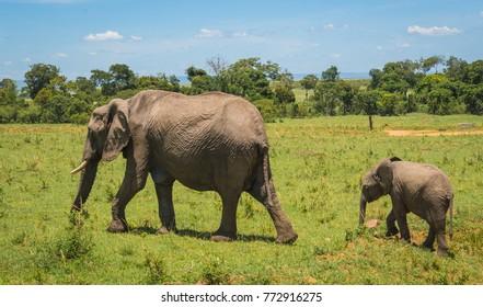 Image of african elephants in Masai Mara in Kenya