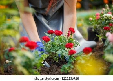 Image of agronomist planting red roses in garden
