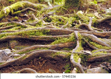 An image of the ancient roots of a rain tree.