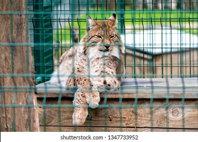 image animal wild cat behind the fence in the zoo enclosure