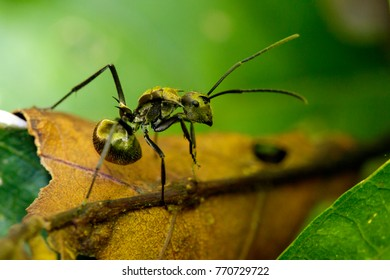 Image of ant (Polyrhachis dives) on brown leaf. Insect. Animal.