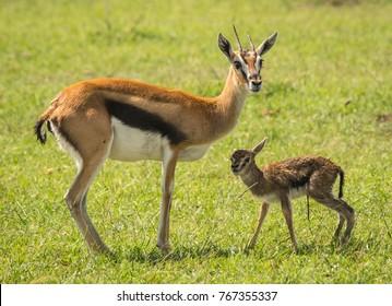 Image of antelope Thompson and her newborn baby in Masai Mara, Kenya