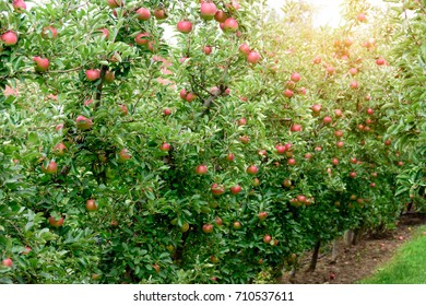 image of apple farm on sunny day. / With copy space