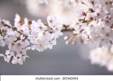 An Image of Arashiyama Of Spring