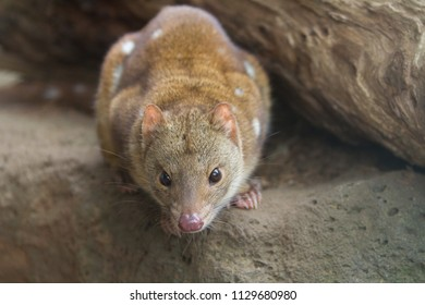 Image of an Australian Quoll