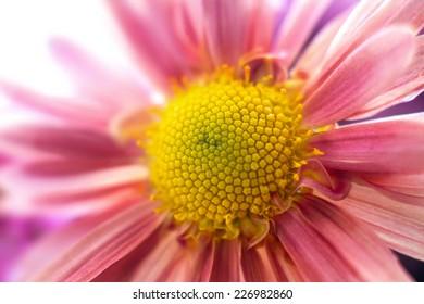 a Image of autumn garden chrysanthemum flowera