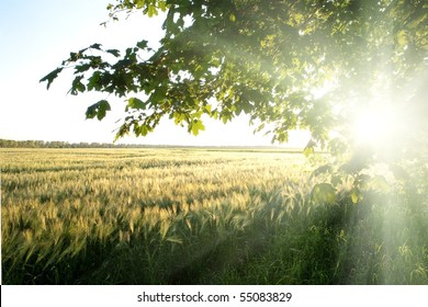An image of a beautiful field of green barley