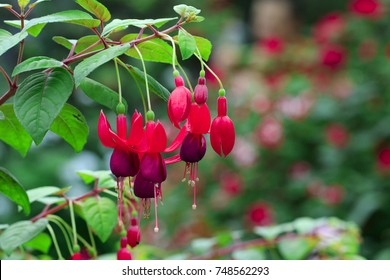 Image of beautiful fuchsia magellanica flower, hummingbird fuchsia or hardy fuchsia, Hanging fuchsia flowers in the garden.