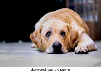 an image of a beautiful isolated labrador pet dog with a sad, perhaps sick or discouraged look