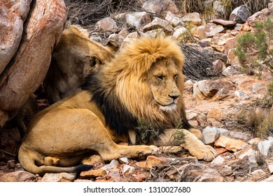 Image of a beautiful lion resting and looking around