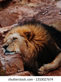 Image of a beautiful lion sleeping in the savannah