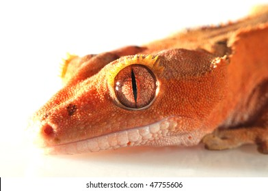 image of a beautiful new caledonian/crested gecko (R.ciliatus)