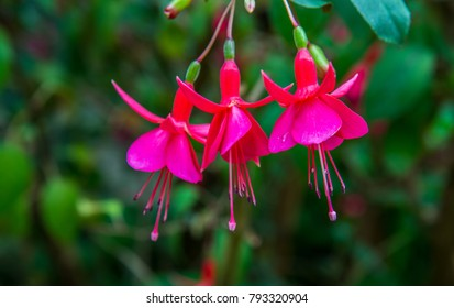Fuchsia images stock photos vectors shutterstock image of a beautiful pink fuchsia magellanica flowers on green tree background hummingbird fuchsia mightylinksfo