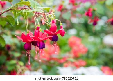 image of a Beautiful pink  Fuchsia magellanica flowers on green tree background ,Hummingbird Fuchsia