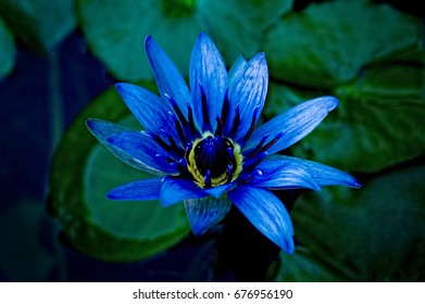 An image of a beautiful image of a purple/blue and yellow water lily with green leaves in background