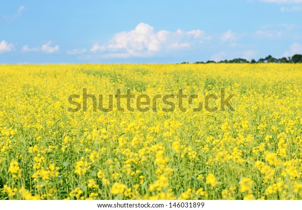 An image of a beautiful Rapeseed field and a blue sky