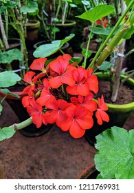 Image of beautiful red wallflower plant - Erysimum