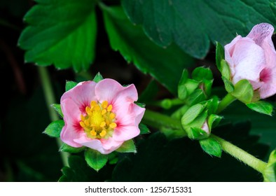 Image of a beautiful strawberry pink flower which is from a hybrid strawberry plant