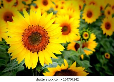 Image of beautiful sunflowers photographed close