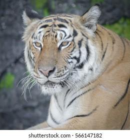 Image Beautiful young tiger At the zoo.