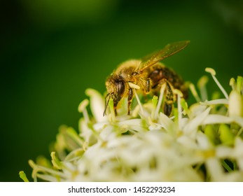 image of bee collecting nectar close up