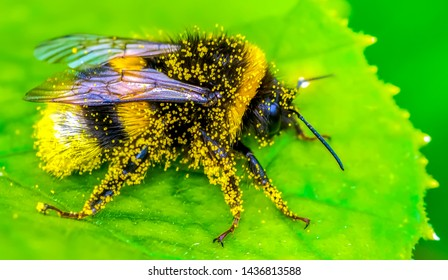 Image of bee or honeybee on yellow flower collects nectar. Golden honeybee on flower pollen with space blur background for text. Insect. Animal