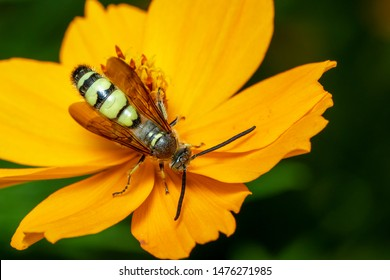 Image of Beewolf or Beewolves(Philanthus) on yellow flower on a natural background. Are bee-hunters or bee-killer wasps., Insect. Animal.