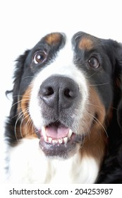 An Image of Bernese Mountain Dog