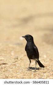 Image of bird black on nature background. Pied Bushchat ( Saxicola caprata )
