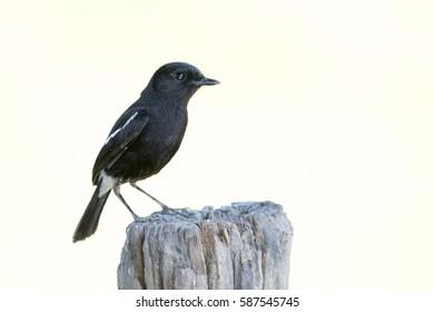 Image of bird black on white background. Pied Bushchat ( Saxicola caprata )
