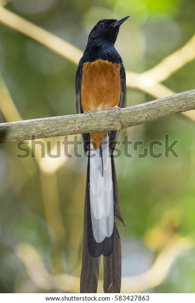 Image of bird(male) on the branch on nature background. Wild Animals.(White-rumped shama)
