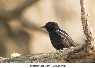 Image of birds perched on the branch. Wild Animals. Pied Bushchat ( Saxicola caprata )
