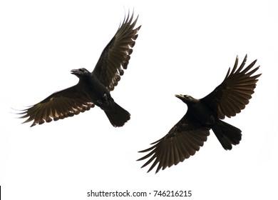 Image of black crow flying on white background. Animal. Black Bird.
