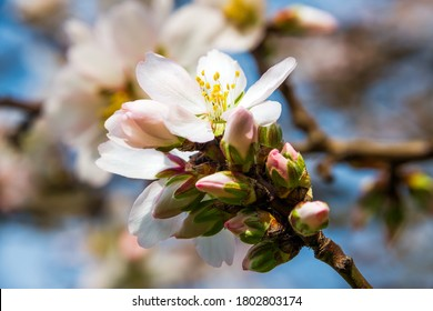 Image of a blooming nectarine tree
