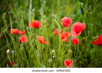 an image of blooming red poppies in the meadow