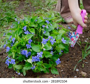 the image of the blossoming violet bush. Nearby a hand with the color shovel thrust to the soil.