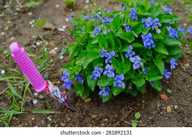 the image of the blossoming violet bush. Nearby the color shovel thrust to the soil.