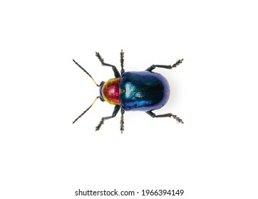Image of blue milkweed beetle it has blue wings and a red head isolated on white background. Insect. Animal.