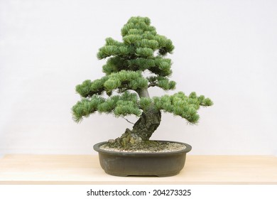 White Pine Bonsai Hd Stock Images Shutterstock