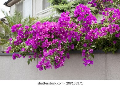 An Image of Bougainvillea