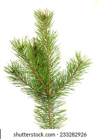 The image of a branch of the pine, isolated, on a white background