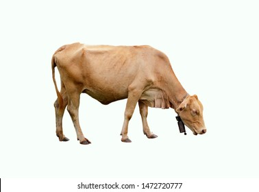 Image of brown cow isolated on a white background. Farm animals.