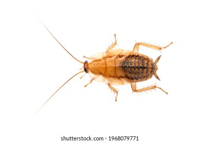 Image of brown forest cockroach on white background. From top view. Insect. Animal