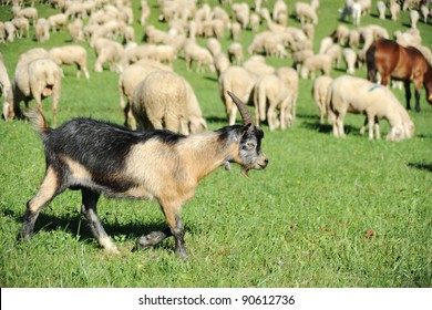 An image of a brown goat on green pasture