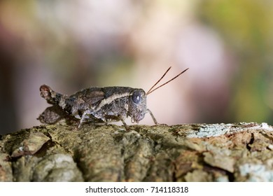Image of a Brown grasshopper (Acrididae) on natural background. Insect. Animal