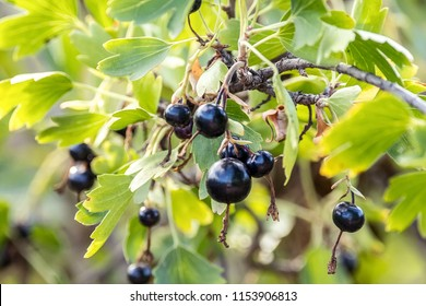 image of a bunch of ripe black currant on a bush in the garden