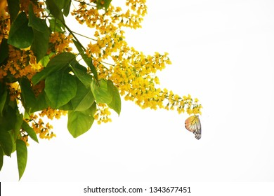 The image of butterflies that cling to the flowers of Burma padauk