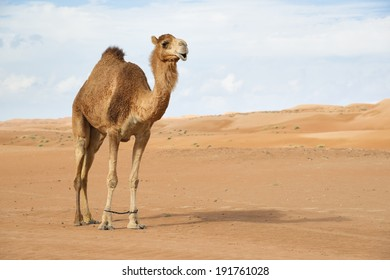 Image of camel calf in desert Wahiba Oman