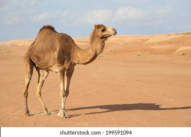 Image of camel in desert Wahiba Oman