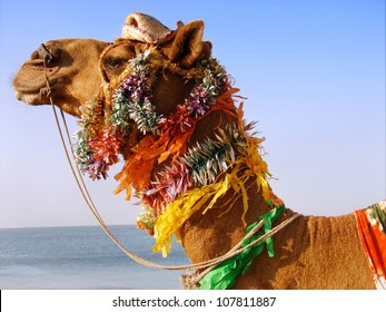 A image of camel face profile with decoration. This camel is being used for enjoying the ride on beach in Gujarat, India.